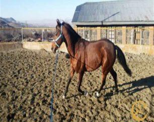 خرید اسب و فروش اسب_الوند