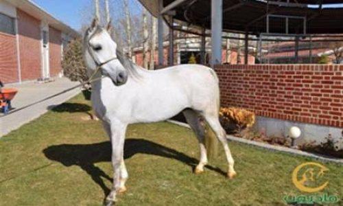 خرید اسب  و فروش اسب_ایس ارپو