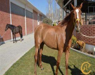 خرید اسب و فروش اسب_باربارا