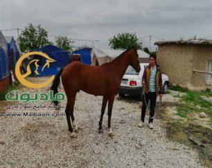 خرید اسب و فروش اسب_بایرام خان
