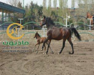خرید اسب و فروش اسب_توسکا