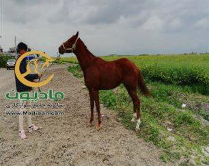 خرید اسب و فروش اسب_جنی وان