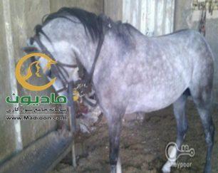 خرید اسب و فروش اسب_خروش
