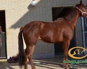 خرید اسب و فروش اسب_ساینا