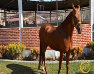 خرید اسب و فروش اسب_سوسن