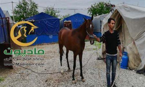 خرید اسب و فروش اسب_سوفیلا سرمدی