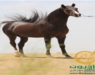 خرید اسب و فروش اسب_فرخ ایستاتیس
