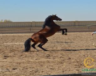خرید اسب و فروش اسب_فیصل