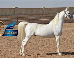 خرید اسب و فروش اسب_میجور