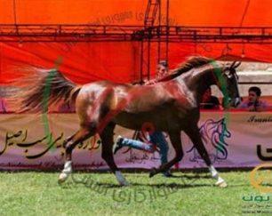 خرید اسب و فروش اسب_ویکتوریا