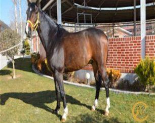 خرید اسب و فروش اسب_پی کی