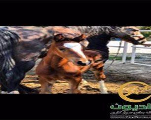 خرید اسب و فروش اسب_کره لندگرانوس