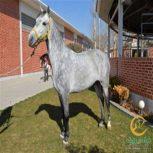 خرید اسب و فروش اسب_گری استون