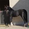 خرید اسب و فروش اسب_یادگار