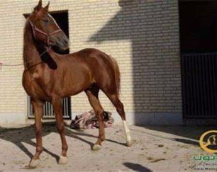 خرید اسب و فروش اسب_یوزپلنگ