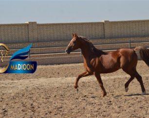خرید اسب و فروش اسب_مسعود دودوکور