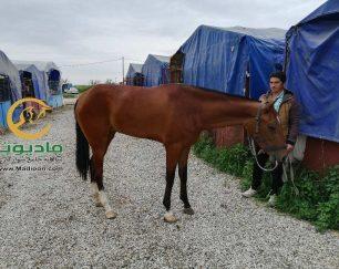 خرید اسب و فروش اسب_سایراز