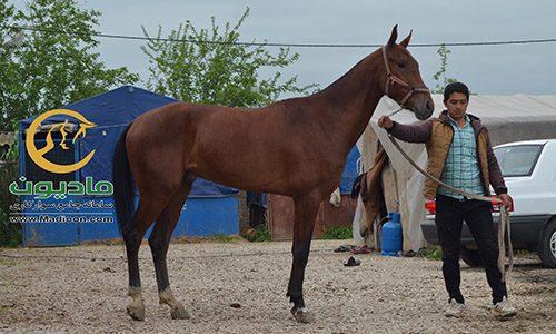 خرید اسب و فروش اسب_تیررئیسی