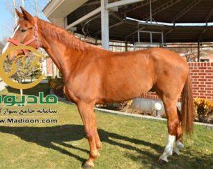 خرید اسب و فروش اسب_ایمبلوس