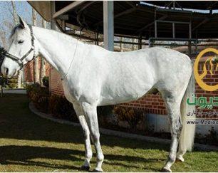 خرید اسب و فروش اسب_کارل