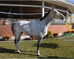 خرید اسب و فروش اسب_کریستالین