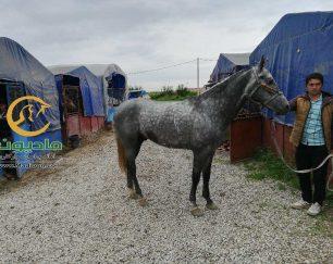 خرید اسب و فروش اسب_اراز شاهی