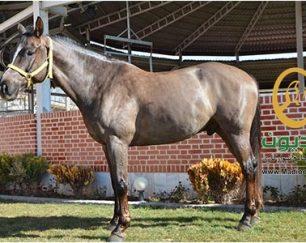 خرید اسب و فروش اسب_گینتانو
