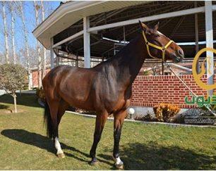 خرید اسب و فروش اسب_لوپینا