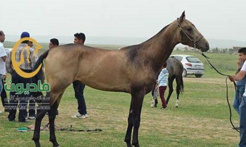 خرید اسب و فروش اسب_آدلان
