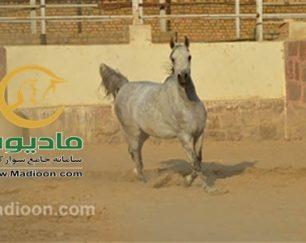 خرید اسب و فروش اسب_آلتیسکا