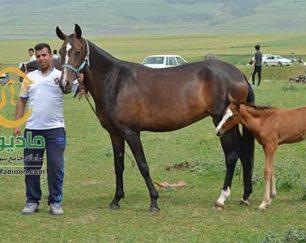 خرید اسب و فروش اسب_آیسان