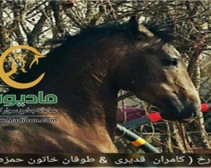 خرید اسب و فروش اسب_تارخ حمزه