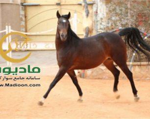 خرید اسب و فروش اسب_تیبا حمزه
