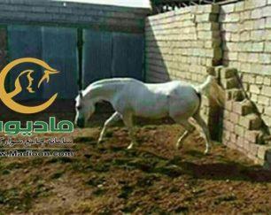 خرید اسب و فروش اسب_جواهر الوند