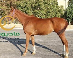 خرید اسب و فروش اسب_رائول