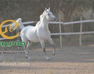 خرید اسب و فروش اسب_زئوس