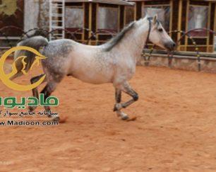 خرید اسب و فروش اسب_سالار خان حمزه