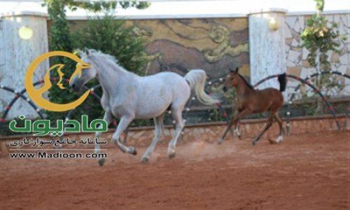 خرید اسب و فروش اسب_طوفان خاتون حمزه