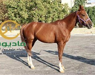 خرید اسب و فروش اسب_عسل