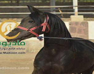خرید اسب و فروش اسب_لاهوت