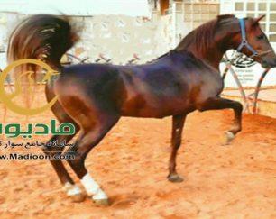 خرید اسب و فروش اسب_لیث پارسا