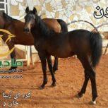 خرید اسب و فروش اسب_لیون حمزه