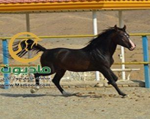 خرید اسب و فروش اسب_میراث ( منافس کماشه)