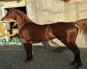 خرید اسب و فروش اسب_نریان دره شوری
