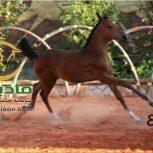خرید اسب و فروش اسب_هانا حمزه