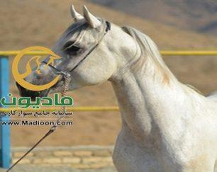 خرید اسب و فروش اسب_والا ستوده نیا
