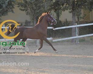 خرید اسب و فروش اسب_چمپیون
