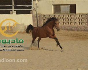 خرید اسب و فروش اسب_کاتبه