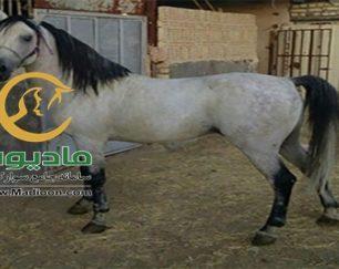خرید اسب و فروش اسب_کرد خالص
