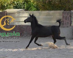 خرید اسب و فروش اسب_کرشمه